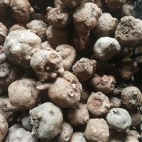 贵州毕节魔芋种子批发 魔芋种子成熟季节