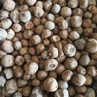 魔芋种子种植不出苗的原因 魔芋种子一公斤有多少米