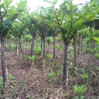 魔芋种子怎么脱毒处理 100亩地要魔芋种子多少斤