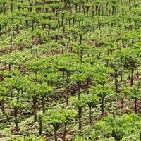 黔西魔芋种子价格 2020魔芋种子价格贵州黔东南