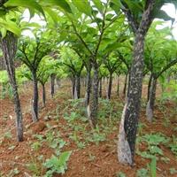 一亩地需要多少魔芋种子价格 云南哪里需要魔芋种子价格