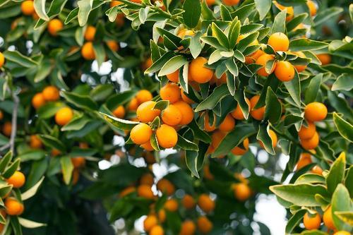突尼斯软籽石榴树苗新品种