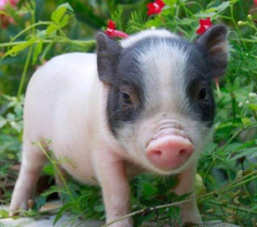 半年的香猪出售多少钱一只 2020年香猪养殖技术有哪些