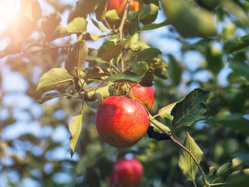 新闻快报:新疆阿克苏苹果树苗栽培管理