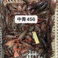 硬规格456钱小龙虾50斤起批全国青虾红虾分开-潜江小龙虾优质批发