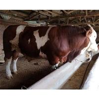 300斤小肉牛价格 现在小牛犊价格行情