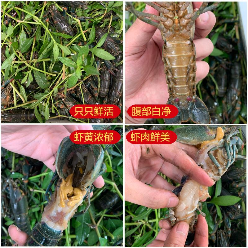澳洲淡水小龍蝦價格/養殖基地直供 技術支持告訴您怎么做怎么吃