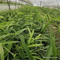 黄精种苗 种植一亩黄精成本利润