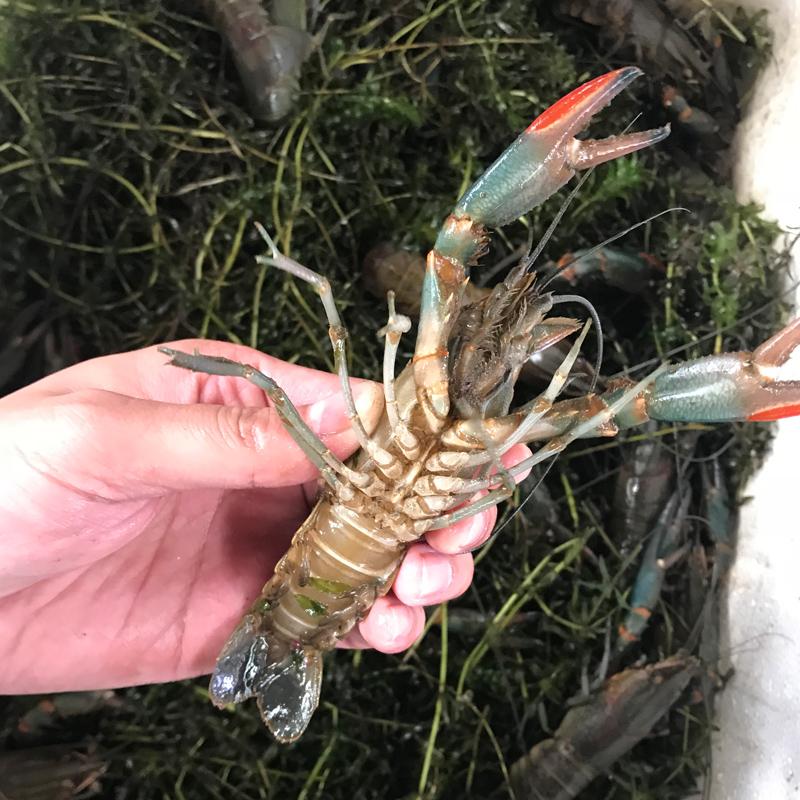 養殖基地直供1兩以上澳洲淡水龍蝦/青龍蝦/小青龍/淡水大龍蝦藍龍