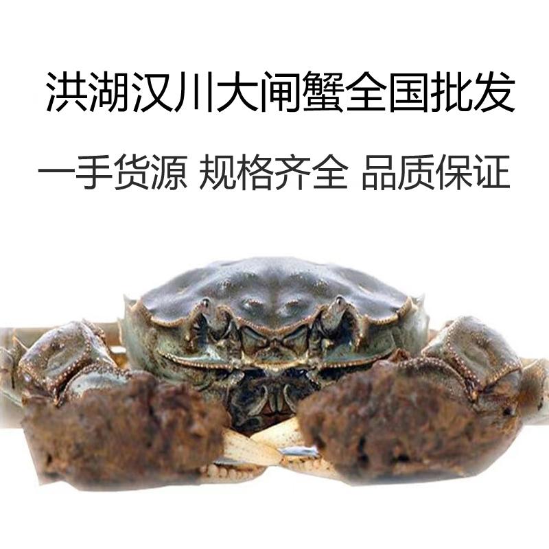 湖北洪湖生態大閘蟹 各種規格 基地出貨白底鮮活大閘蟹產地批發