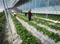 草莓温室大棚 草莓温室大棚厂家 山东草莓温室大棚 草莓温室大棚