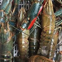 优质供应 鲜活 澳洲淡水小龙虾 淡水小澳龙1-4两批发全国直达包邮