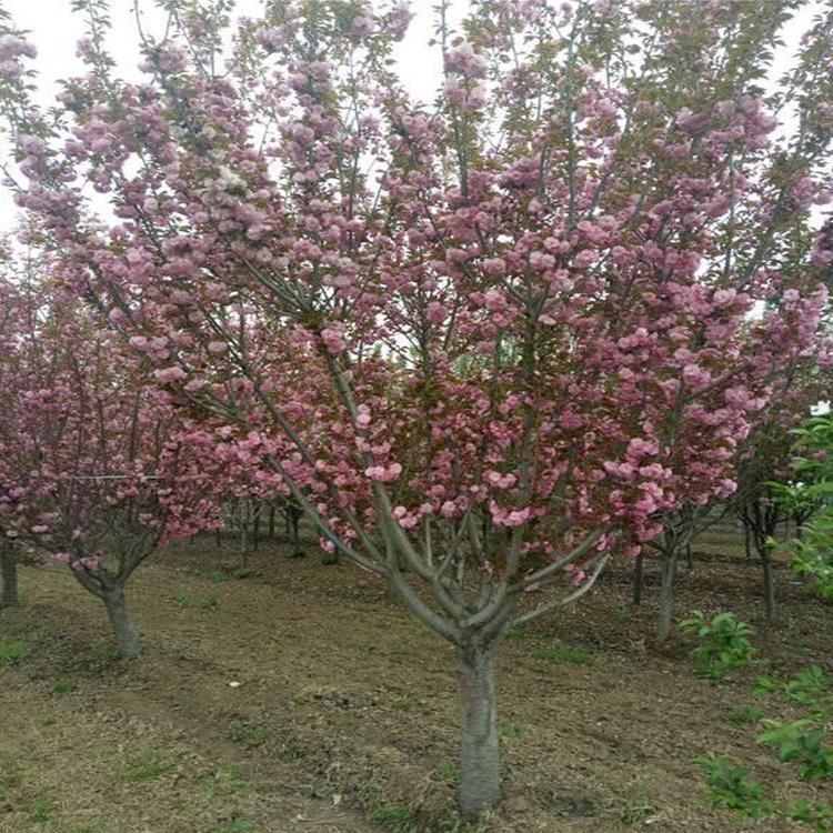 绿化苗供应 樱花 品种齐全 樱花批发价格