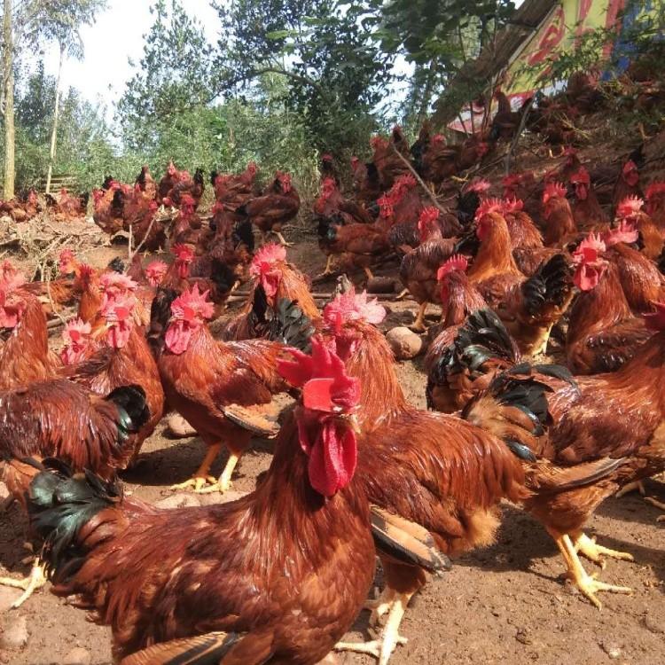 大红公鸡苗市场价格 红毛公鸡苗批发价格