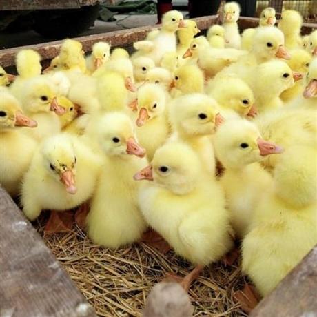 鹅苗批发 鹅苗价格 四川鹅苗孵化场基地