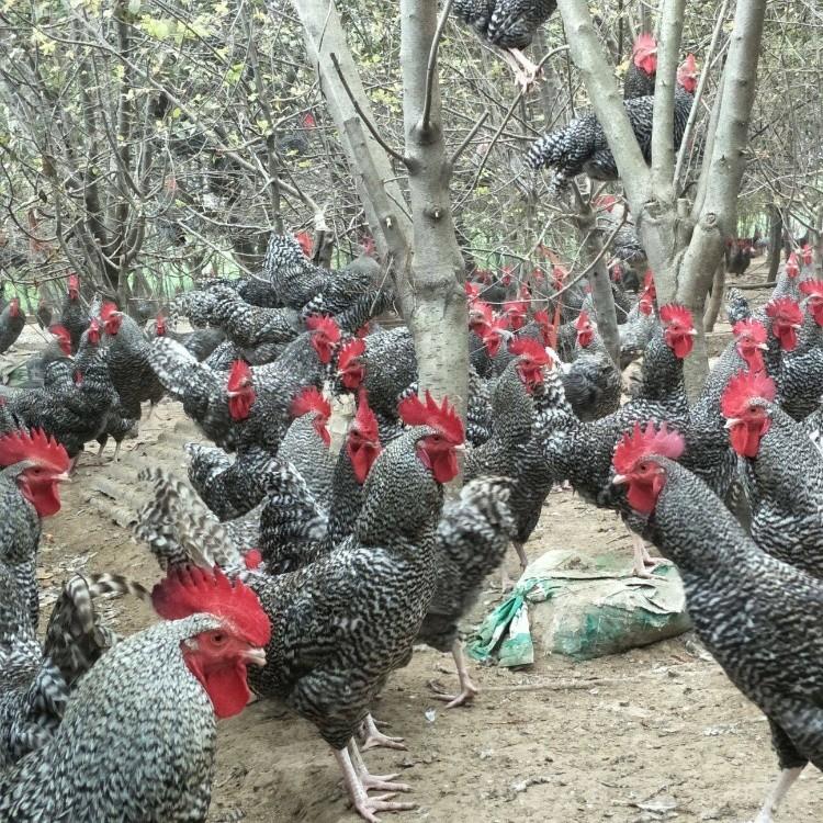 芦花鸡苗价钱 快大型芦花鸡苗孵化场 黑芦花鸡苗批发价格