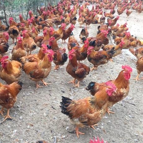 广州新广麻鸡苗批发厂家 广东麻鸡苗价格 大种麻鸡苗供应