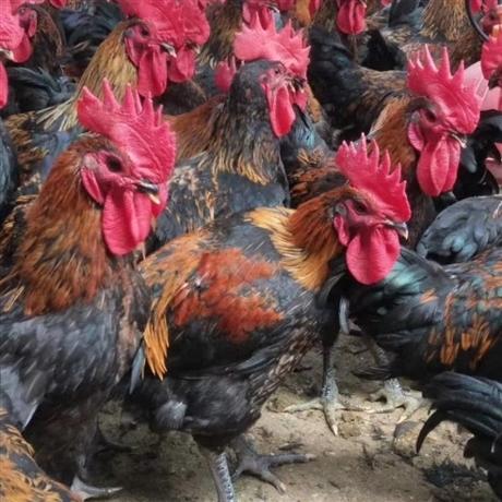 陕西黑鸡苗批发价格 西安天露黑鸡苗供应 宝鸡快大黑鸡苗厂家
