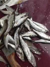 冷冻小白条鱼加工厂 小白条鱼批发市场 白条鱼批发商