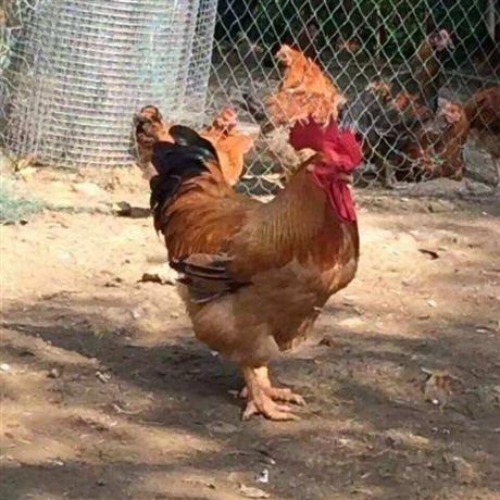 广州大型鸡雏孵化厂 广东鸡苗孵化场排名 吉林省鸡雏孵化厂