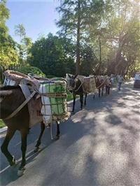 宝鸡市骡子运输搬运 砖头马帮运输队