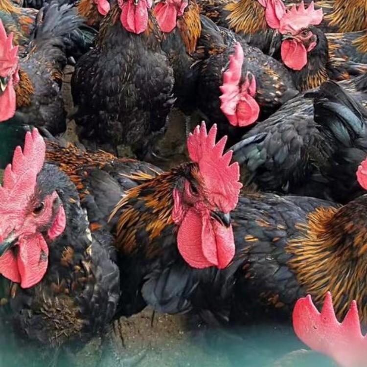新疆快大黑鸡苗批发 乌鲁木齐天露黑五鸡苗 昌吉黑鸡苗孵化基地
