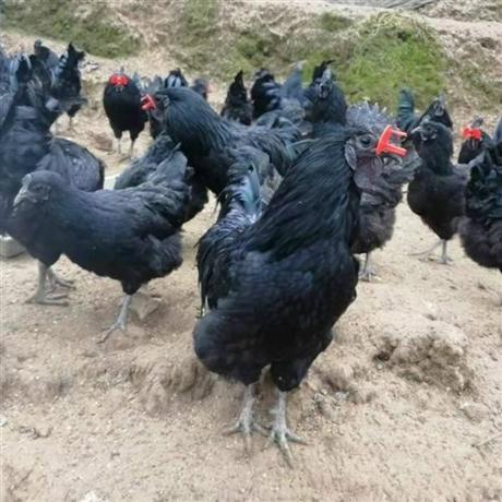 快大型黑羽乌鸡苗 大种黑乌骨鸡苗批发价格 黑羽乌骨鸡苗供应