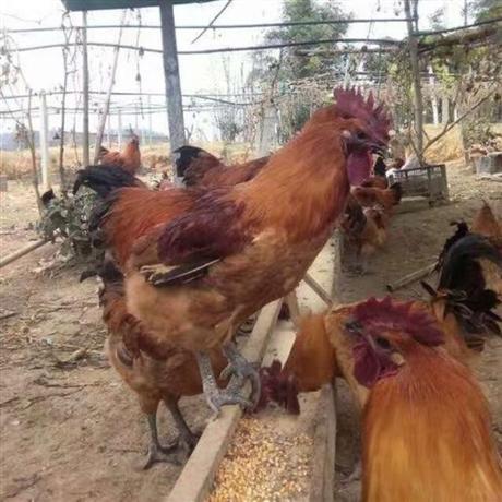 孵化场供应快大型麻羽乌鸡苗 麻羽乌鸡苗报价价格 麻羽乌鸡苗价钱