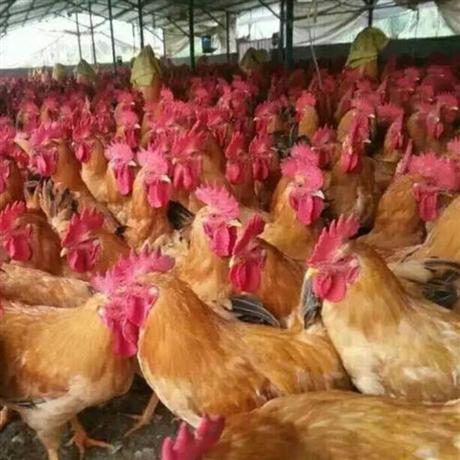 厂家直销三黄鸡 三黄鸡批发价格 黄花鸡销售 黄花公鸡苗供应