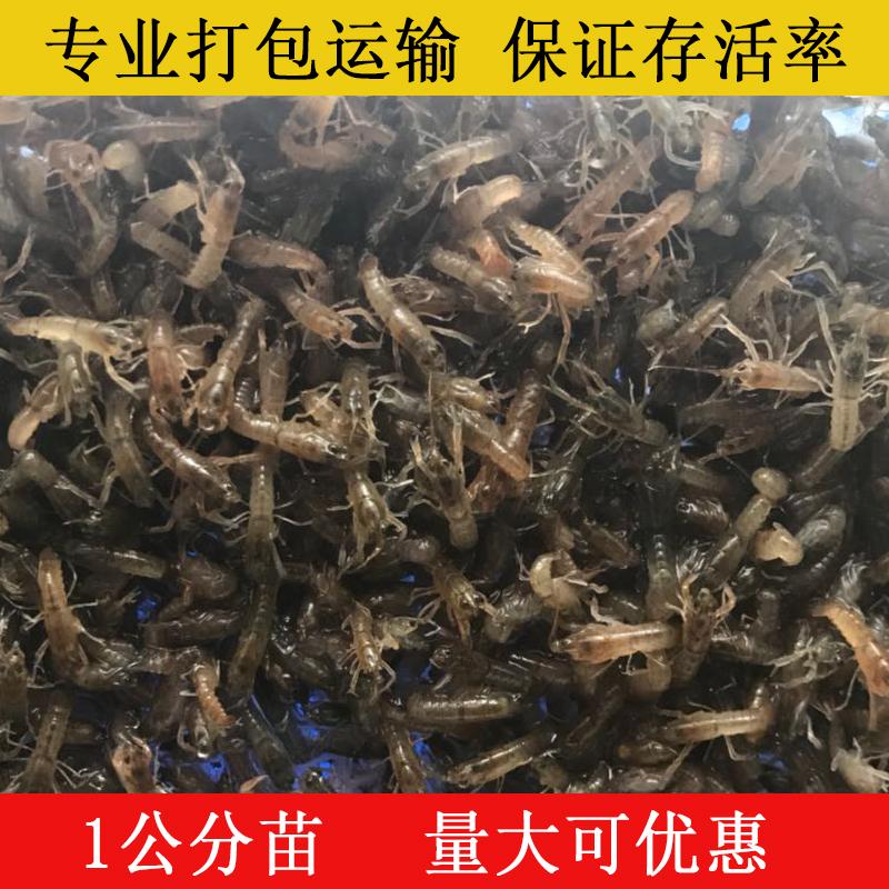 蝦苗 澳洲淡水小龍蝦苗 螯蝦大龍蝦活體龍蝦苗種苗公分苗藍色澳龍