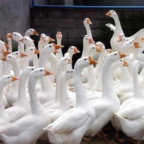 四川大种鹅苗批发 成都三花鹅苗价格 肉鹅苗孵化厂