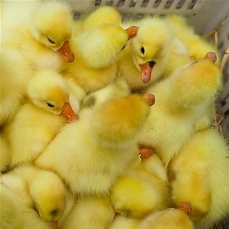 哈密鹅苗批发市场 新疆吐鲁番鹅苗价格 克拉玛依三花鹅苗供应