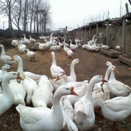 青海鹅苗批发厂家 西宁三花鹅苗价格 格尔木肉鹅苗供应