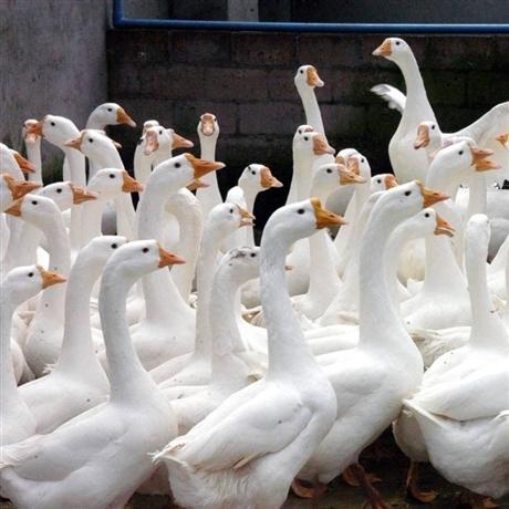 库尔勒三花鹅苗批发 巴音郭楞鹅苗出售基地 阿勒泰大种鹅苗价格