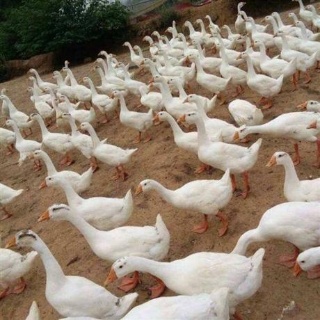 喀什大种鹅苗供应 阿克苏三花鹅苗批发 伊犁鹅苗供应厂家