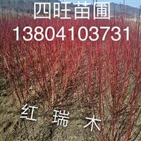 东北辽宁丛生红瑞木 艳福莱木种子价格优惠