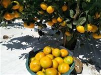早熟柑橘品种 柑橘苗基地供应由良蜜桔苗 根系发达 品质保证