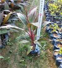 海南红叶朱蕉双色杯 亮叶朱蕉苗 绿化地被小苗常年供应