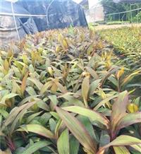 漳州红叶朱蕉双色杯 朱蕉袋苗 盆栽花坛摆放在均可