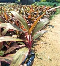 重庆朱蕉批发 朱蕉袋苗 园林绿化地被小苗