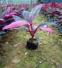 江西朱蕉批发 红叶朱蕉移植苗 供应花境植物 红巨人朱蕉
