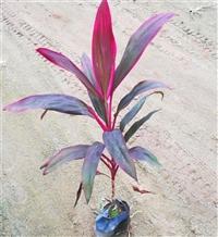 重庆红叶朱蕉双色杯 朱蕉杯苗 盆栽花坛摆放在均可