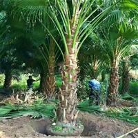 四川出售蒲葵杯苗 蒲葵盆栽苗 园林绿化景观工程苗圃