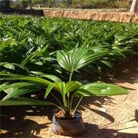 海南蒲葵容器苗 蒲葵价格 庭院管家 品种齐全