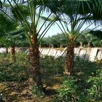 江西蒲葵容器苗 精品蒲葵苗 园林绿化景观工程苗圃