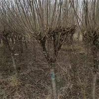 木槿树苗工程苗 6公分木槿树苗价格 江苏木槿种植基地