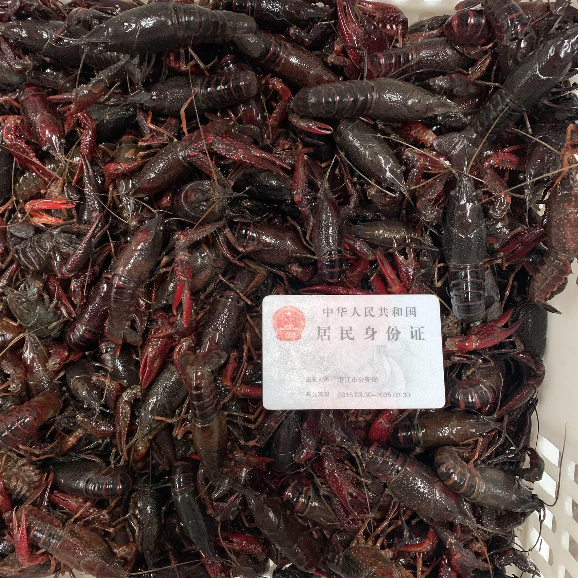 2021年3月1日潛江小龍蝦報價行情234錢滿肉小紅蝦品質規格一覽批發