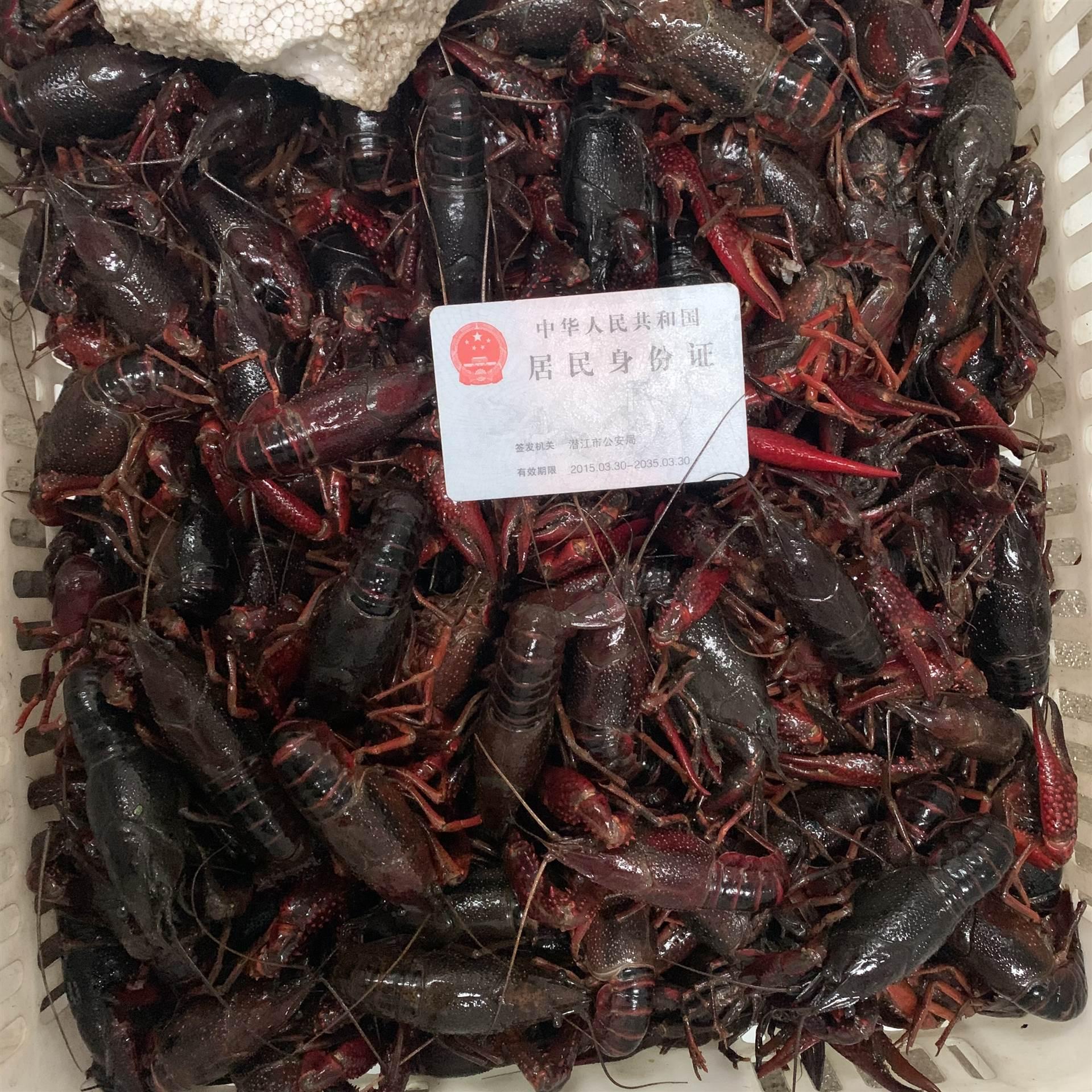 2020年3月1日潛江小龍蝦紅蝦456中紅價格行情報價規格品質一覽批發