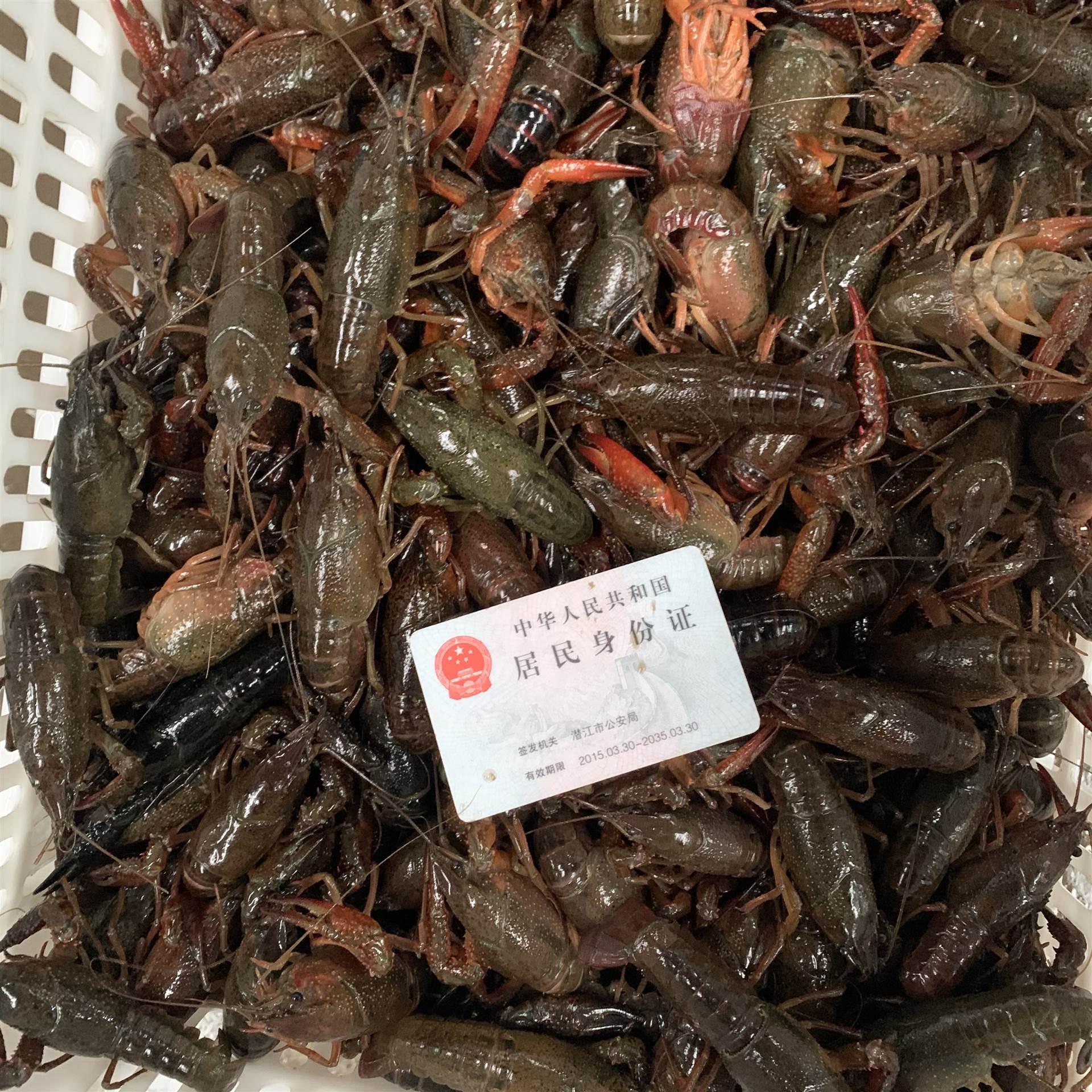 2021年3月1日潛江小龍蝦青蝦456錢規格肉質飽滿底板干凈價格行情