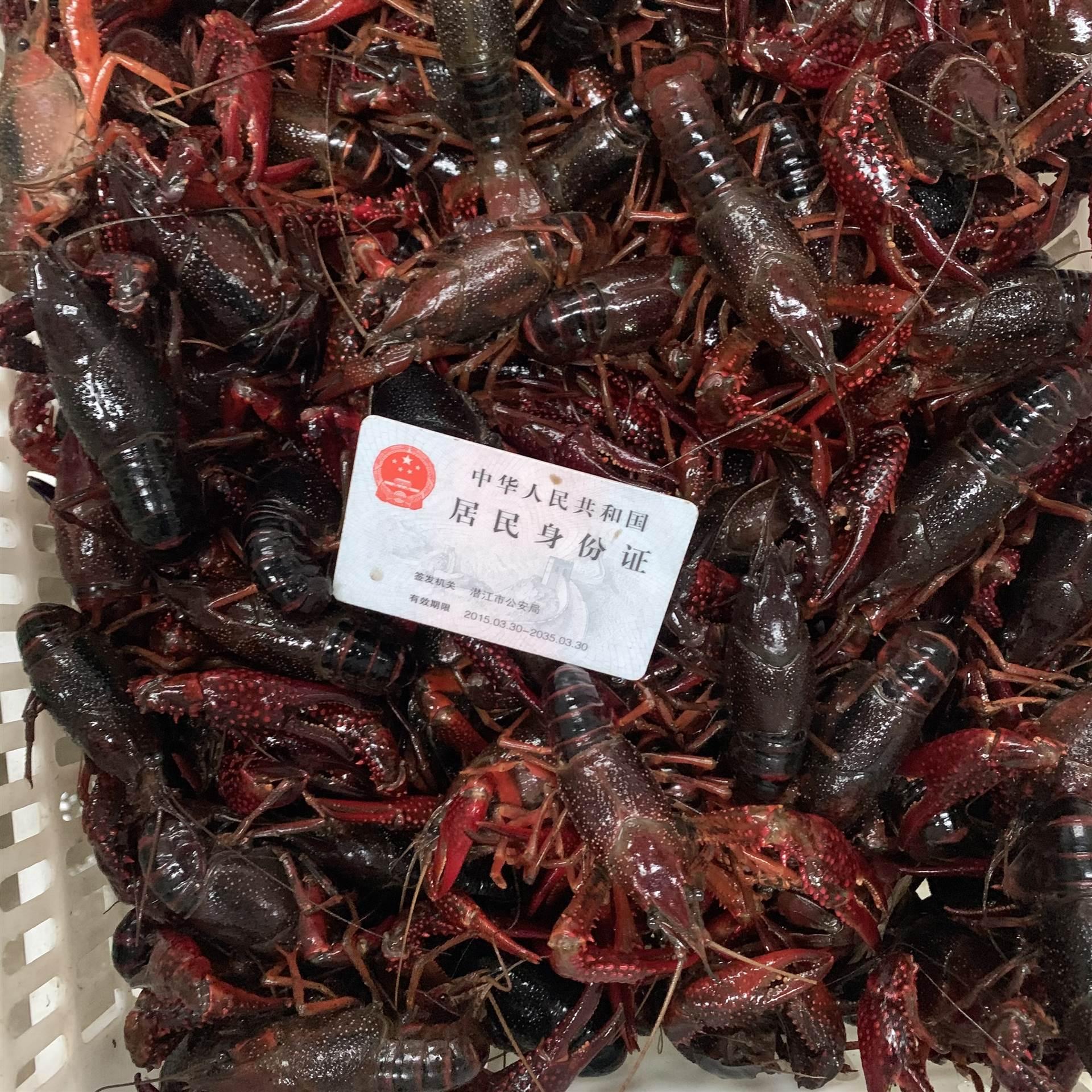 2021年3月1日潛江小龍蝦批發市場6789滿肉大紅蝦價格品質一覽行情